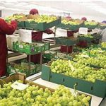 grape importers in Europe