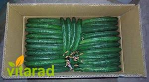 cucumbers for exports