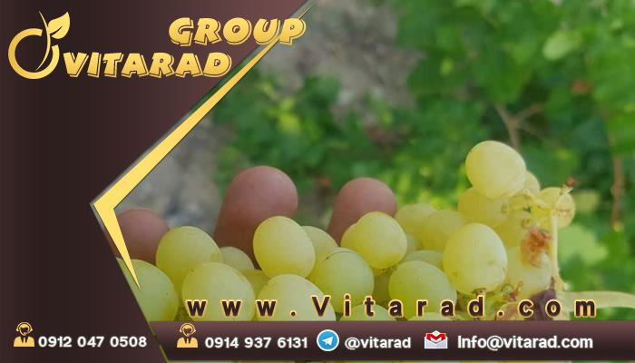 Wholesale purchase of grapes in Urmia